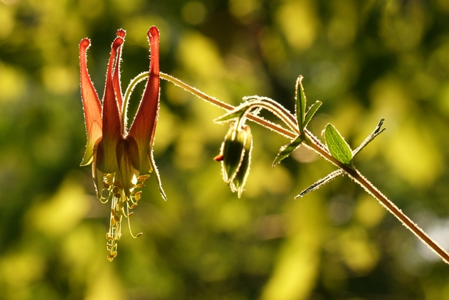 Columbine on the bluff at the