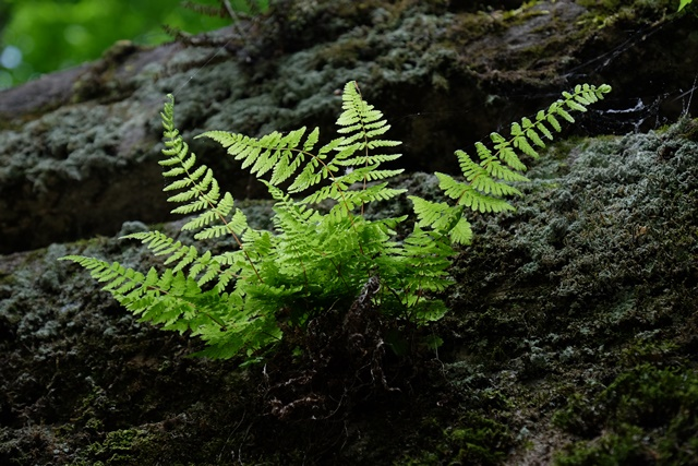 Ferns at Lost Valley