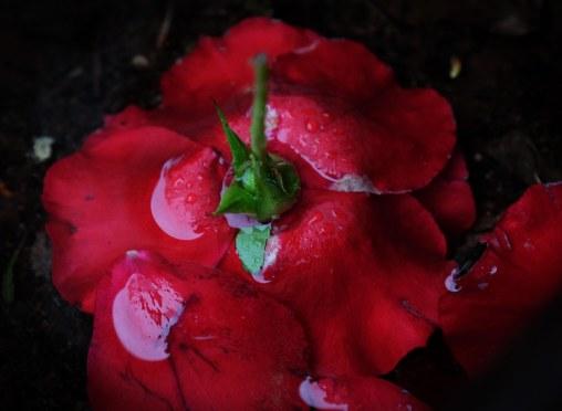 Rose in Rainstorm