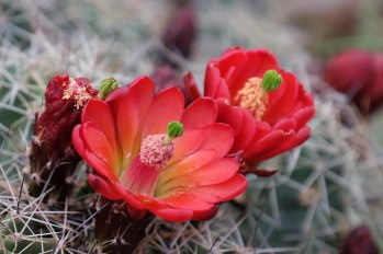 Cactus Flower, Arizona